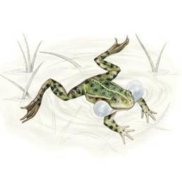 """Rana verde, Edible Frog - Rana synklepton """"esculenta"""""""