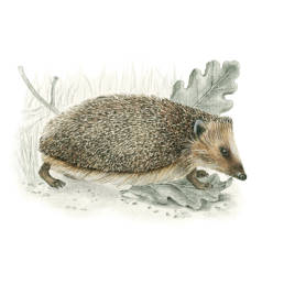 Riccio europeo occidentale, Common Hedgehog - Erinaceus europaeus