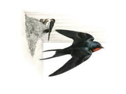 Rondine, Barn Swallow - Hirundo rustica
