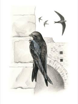 Rondone, Common Swift - Apus apus