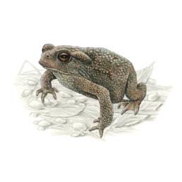 Rospo comune, European Toad - Bufo bufo