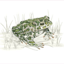 Rospo smeraldino, Green Toad - Bufo viridis