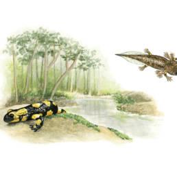 Salamandra pezzata – deposizione larva, Fire Salamander - larval deposition - Salamandra salamandra