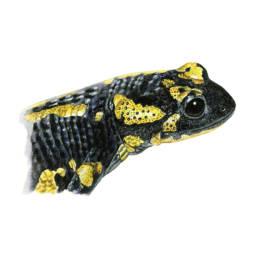 Salamandra pezzata – dettaglio pelle, Fire Salamander - skin detail - Salamandra salamandra