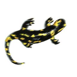Salamandra pezzata – in movimento, Fire Salamander - moving - Salamandra salamandra