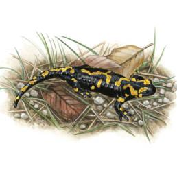 Salamandra pezzata, Fire Salamander - Salamandra salamandra