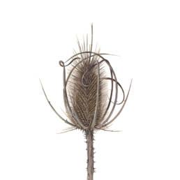 Scardaccione selvatico, Wild Teasel - Dipsacus fullonum, 2017