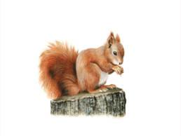 Scoiattolo rosso, Red Squirrel - Sciurus vulgaris