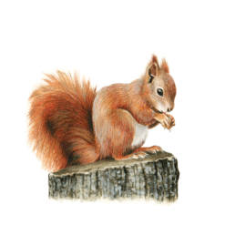 Scoiattolo rosso, Red Squirrel - Sciurus vulgaris