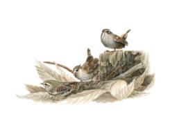 Scricciolo – varie posizioni, Winter Wren - different positions - Troglodytes troglodytes