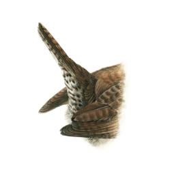 Scricciolo - coda, Winter Wren - tail - Troglodytes troglodytes