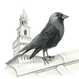 Taccola, Jackdaw - Corvus monedula
