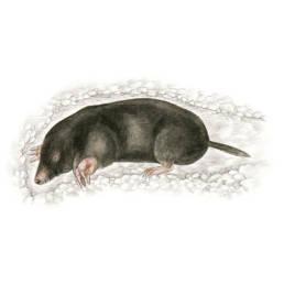 Talpa, European Mole - Talpa europaea