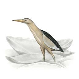 Tarabusino, Little Bittern - Ixobrychus minutus