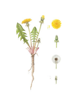 Tarassaco, Dandelion - Taraxacum officinale, 2014 - Watercolour on Fabriano 5 300g 50% cotton (HP) - cm 30x40