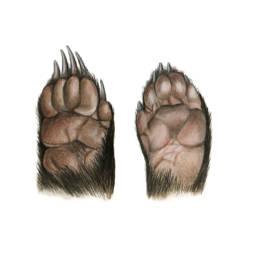 Tasso – zampe, European Badger - feet - Meles meles