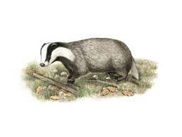 Tasso, European Badger - Meles meles