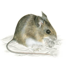 Topo selvatico, Wood Mouse - Apodemus sylvaticus
