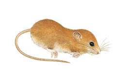 Topolino delle risaie, Harvest Mouse - Micromys minutus