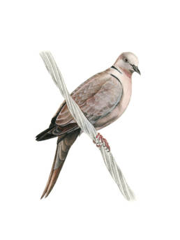 Tortora dal collare orientale, Collared Dove - Streptopelia decaocto