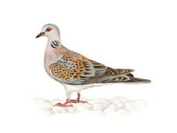 Tortora selvatica, Turtle Dove - Streptopelia turtur