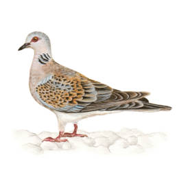 Tortora selvatica, Turtle Dove - Streptopelia turtur