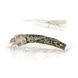 Tricottero, Trichopteran - Odontocerum albicorne