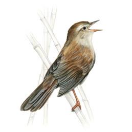 Usignolo di fiume, Cetti's Warbler - Cettia cetti