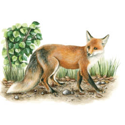 Volpe, Red Fox - Vulpes vulpes