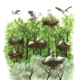 Ardeidi - garzaia, Ardeidae - heronry