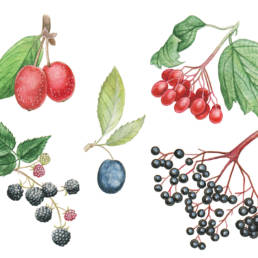 Bacche – varie, Various berries