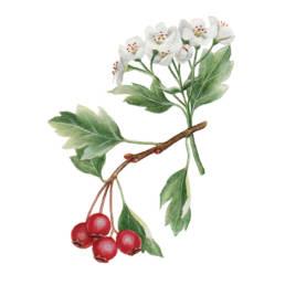Biancospino, Common Hawthorn - Crataegus monogyna
