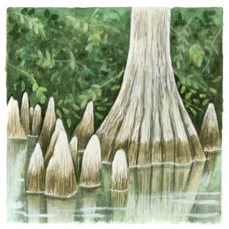 Cipresso calvo - radici, Bald Cypress - roots - Taxodium distichum