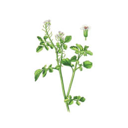 Crescione acquatico, Water Cresses - Nasturtium officinale
