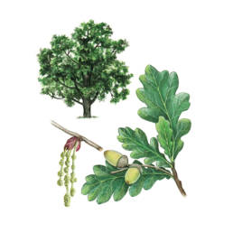 Farnia, English Oak - Quercus robur
