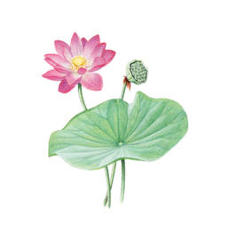 Fior di loto, Indian Lotus - Nelumbo nucifera