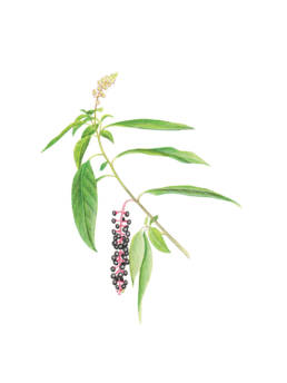 Fitolacca, American Pokeweed - Phytolacca americana