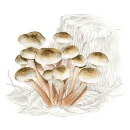 Funghi - Chiodini, Honey Mushroom - Armillaria mellea