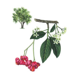 Fusaggine, European Spindle - Euonymus europaeus