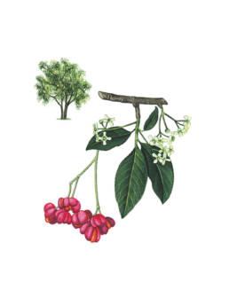 Fusaggine, European Spindle - Euonymus europaeus