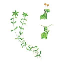 Gamberaia maggiore, Water Starwort - Callitriche stagnalis