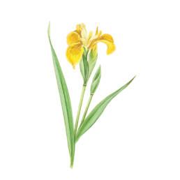 Giaggiolo acquatico giallo, Yellow Flag - Iris pseudacorus