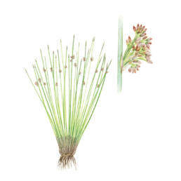 Giunco, Soft Rush - Juncus effesus