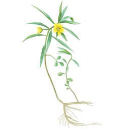 Ludwigia grandifiori, Water-Purslane - Ludwigia grandiflora