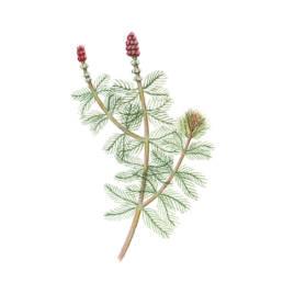 Millefoglie d'acqua – Miriofillo, Eurasian Watermilfoil - Myriophyllum spicatum