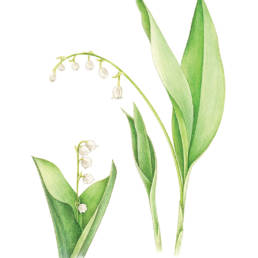 Mughetto, Lily of the Valley - Convallaria majalis