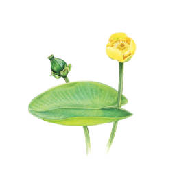 Nannufero, Yellow Water-lily - Nuphar luteum