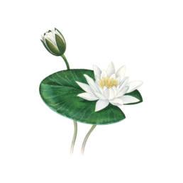Ninfea bianca, European White Water lily - Nymphaea alba