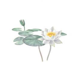 Ninfea bianca minoriflora, European White Water-lily minoriflora - Nymphaea albasubsp.minoriflora