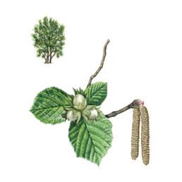 Nocciolo, Common Hazel - Corylus avellana